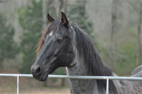 A FIGURE FOUR 486 Blue Roan Stud